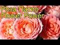 Роза патио Сила цветов (Флауер Пауер). Краткий обзор, описание характеристик Flower Power