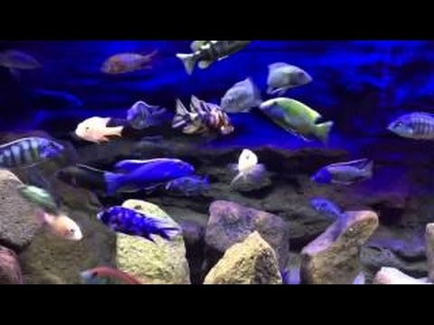 New Editions | 90 Gallon African Cichlid Show Tank | Peacocks and Haps