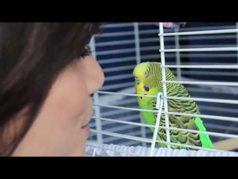 How To Teach Your Budgie To Talk!