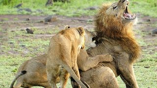Lion Vs Lion - Fighting Moments Between Lions And Lion thumbnail