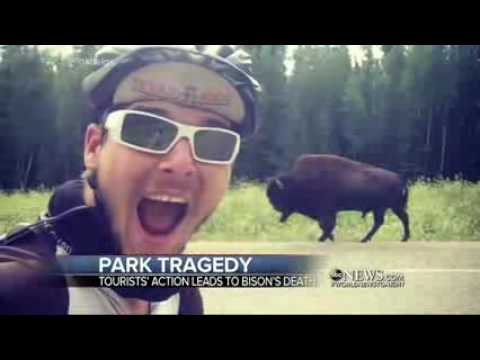 Yellowstone Park Rangers Forced to Put Down a Baby Bison