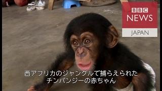 西アフリカで、チンパンジーの赤ちゃんを捕まえペットとして密売する組...