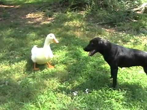 Ducks vs Dog