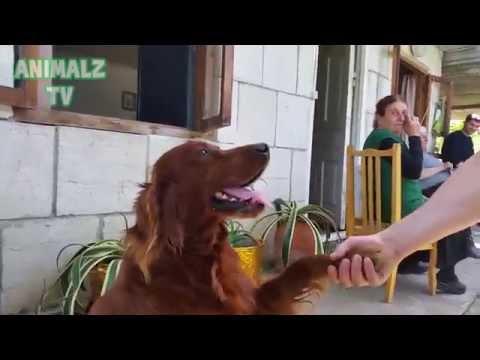 Cute Irish Setter Dog Shaking Hands as a Human