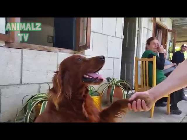 Cute Irish Setter Dog Shaking Hands as a Human