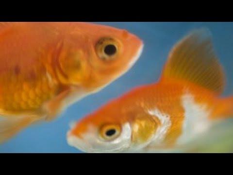 Le poisson d'aquarium, premier animal de compagnie !