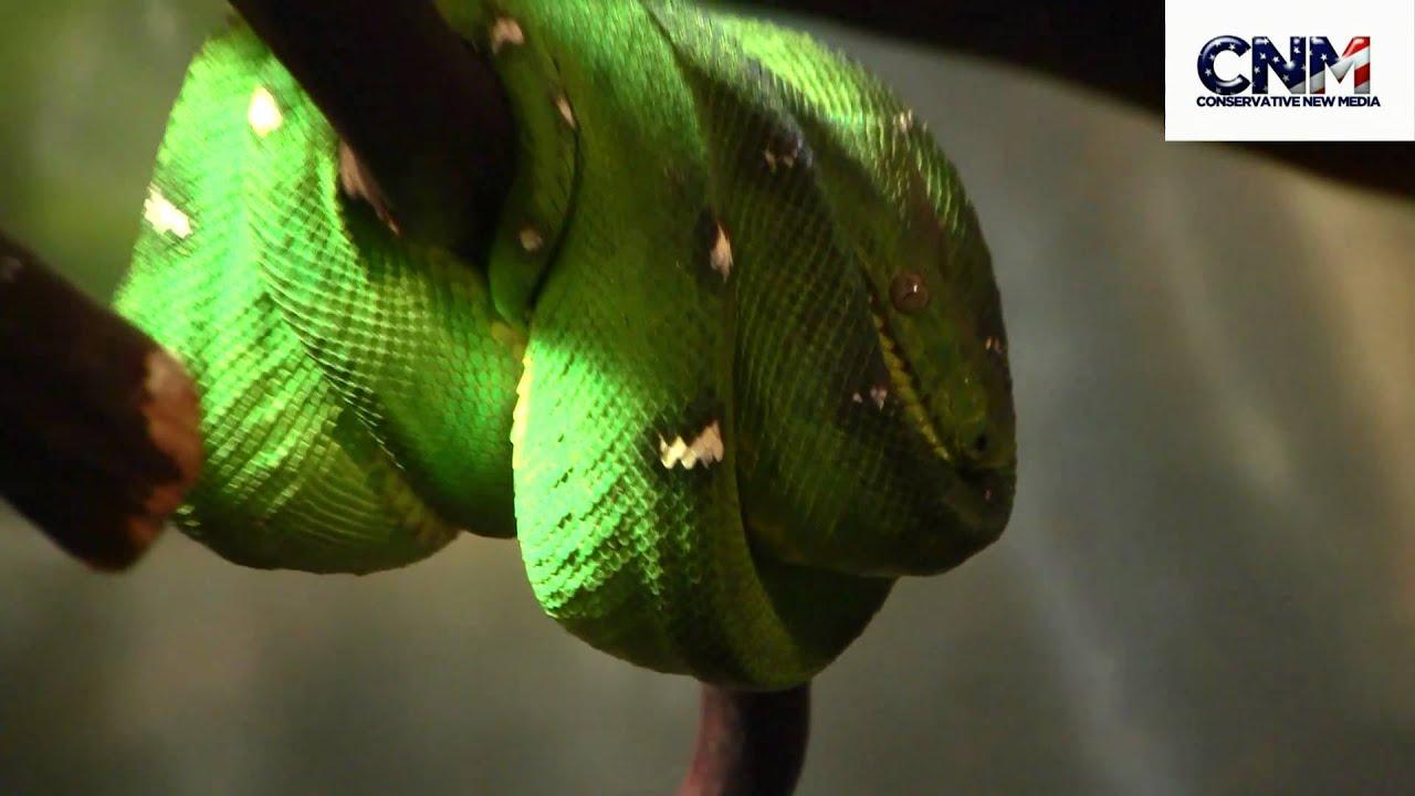 Green Tree Boa - the STEALTH PREDATOR in 1080P HD !! - YouTube