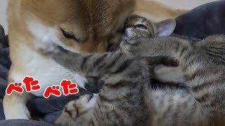 いつも子猫リリが柴犬リコに甘えていますが、今日は子猫リムも一緒にべ...