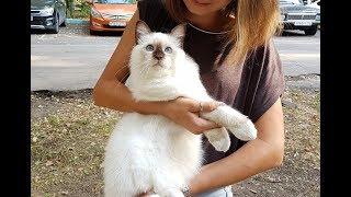 Презентация бирманского кота ИЛЬВЕР БЕЛЫЕ ЛАПКИ