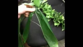 Ti leaf haku