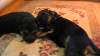 Black And Gold German Shepherd Puppies Growing In Steeler Guest Room; Eyes Open