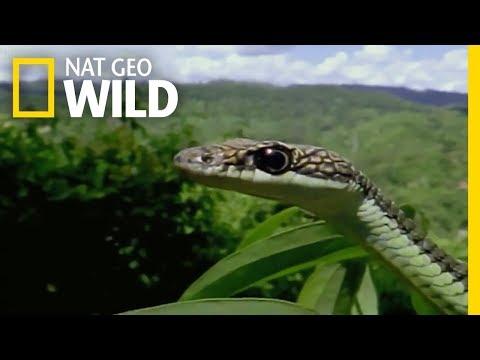 Moment  Impact Animal :  Borneo's Flying Reptiles   - Nat Geo Wild
