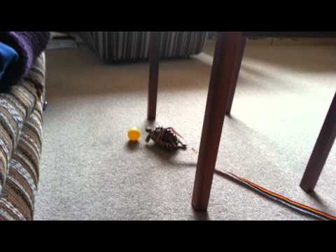 Tiny Tortoise playing with a ball