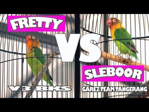 SUARA BURUNG : Duel Love Bird Jawara FRETTY ( V3 BKS ) Dan SLEBOOR ( GAREZ TEAM TANGERANG )