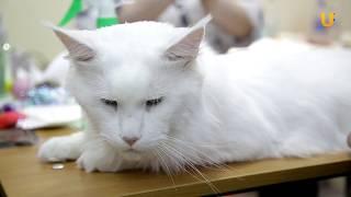 Глазами животных, выпуск 279 (Оценка кошек на выставочном ринге - приятная, но ответственная работа)