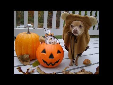 Cutest Chihuahua's Halloween Costume:  Funny Dog, Tommy as Ewok