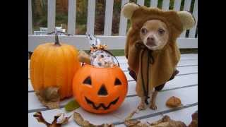 Halloween Star Wars Ewok Dog ~ Trick or Treat with Tommy Chihuahua