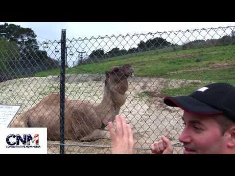 Arabian Camels in 1080P HD !