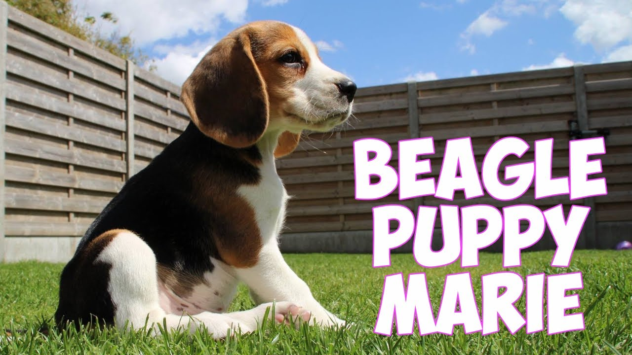 Cute & Funny BEAGLE Puppy Marie Playing with Big Brother Louie