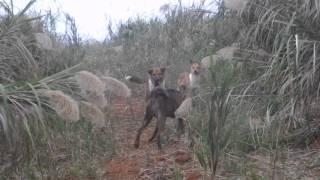 病死した豚を捨てる死の谷、 ここを取り巻くように野犬たちのアジトがあ...