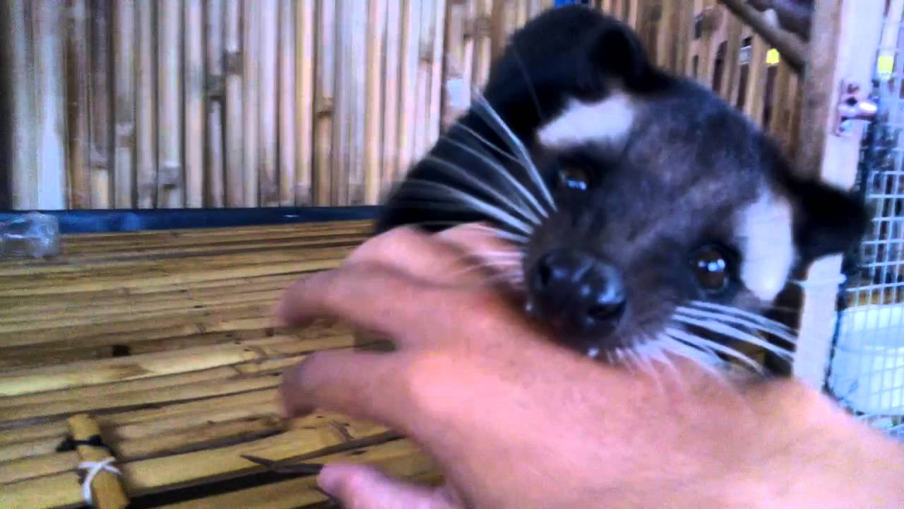 Musang Bulan Aceh Youtube