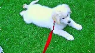 Samriever Puppy Too Lazy To Go Walkies. (samoyed X Golden Retriever)