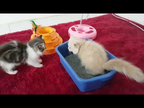 Perawatan Kucing Usia 2 Bulan Yang Makannya Sedikit Follow instagram @vitaminkucing @peternakankucing @agegesaputra....