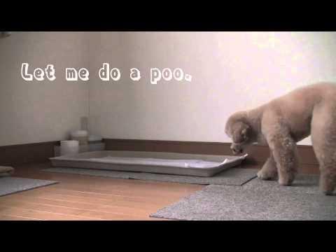 Dog Training 6   Toilet Training  Toy Poodle MOCHA / JPN