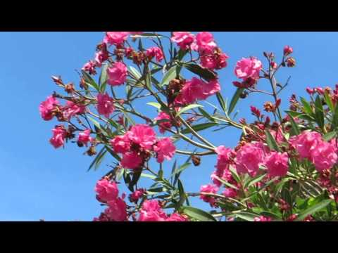 Розовый махровый Олеандр!!!Кирьят-Ям.Israel.