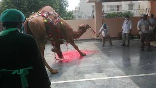 Best Camel Qarbani Saudi Camel Exprt Saghir Sons
