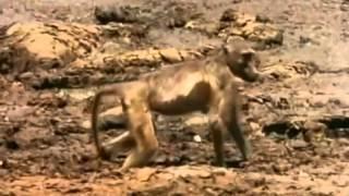 Дикие животные  Крокодил конфликт с обезьяной!