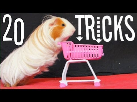 Amazing Guinea Pigs Tricks (with Twix and Lilo)