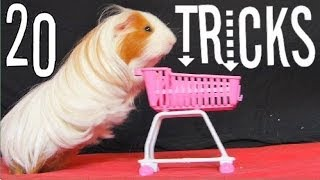 Amazing Guinea Pigs Tricks (with Twix)