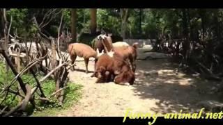 Alpaca group mating 草泥马(羊驼)发情群交