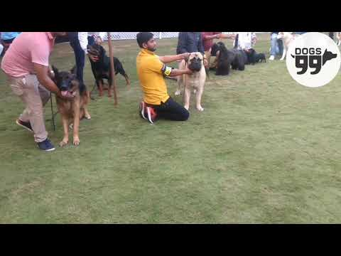 Jabalpur Dog Show | LineUp | Mrs. Ricky Gauws | Dogs99.com