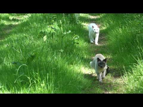 "Siamese Cat calling for her brother to keep up while taking a walk (""Weird"" Cat Behavior)"