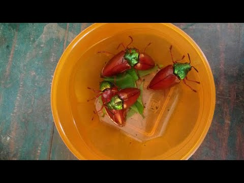 பொன்வண்டு வேட்டைHunting jewel beetle of family.. Sternocera