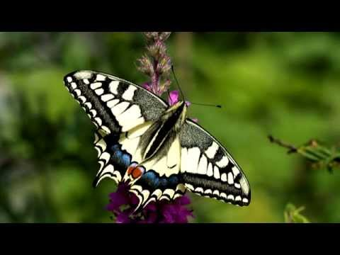 Swallowtail (Papilio machaon) from egg to butterfly