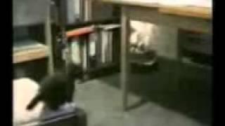 Дурные кошки 1)