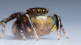 Jumping Spiders See with Rose-Colored Glasses