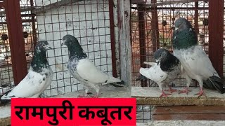Original Rampuri Kabootar for …