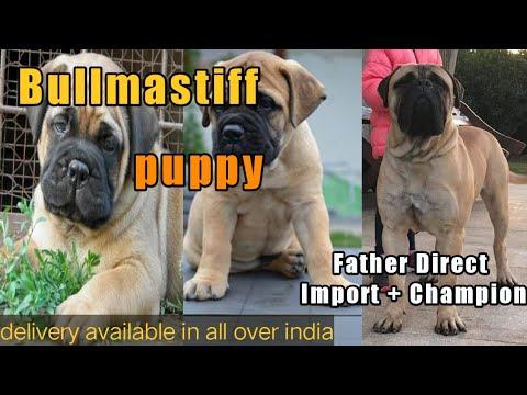 Bullmastiff Puppy For Sale | Bull Mastiff Puppy Kci Registered For Sale | Bullmastiff Import Line |
