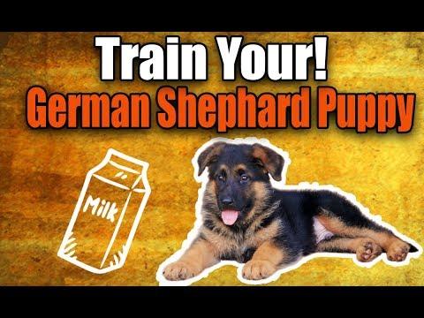 german-shepherd-puppy-:-cute-gsd-drinking-milk-on-commands-(training)
