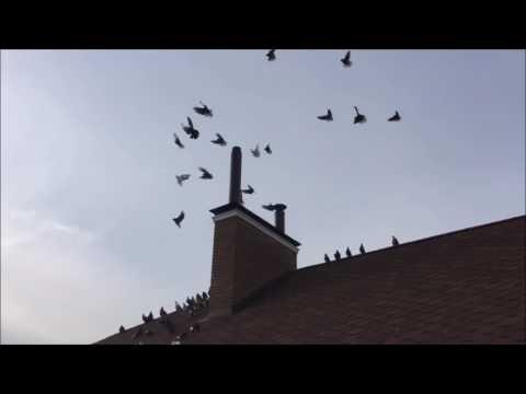 Николаевские голуби! Питомник Игоря Грек.