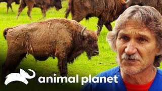 Dr. Jeff examina a un bisonte europeo de 450 kilogramos | Dr. Jeff, Veterinario | Animal Planet
