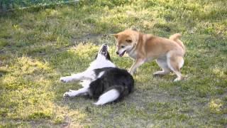 ボーダーコリーユノちゃんと柴犬クマの仲良しバトルです.