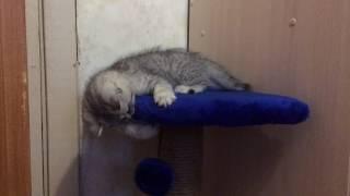 Британский котенок (2 месяца) играет с когтеточкой.