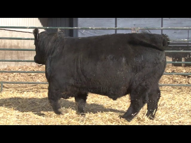 Schiefelbein Angus Farms Lot 126