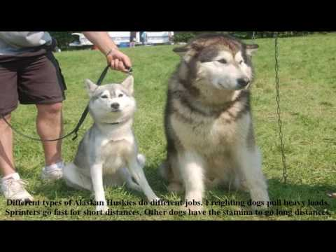 Alaskan huskies puppies dog information-Training Husky dog puppies in modern Alaska