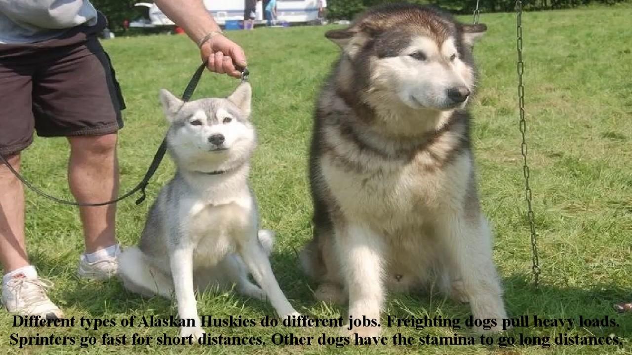 Alaskan Huskies Puppies Dog Information Training Husky Dog Puppies